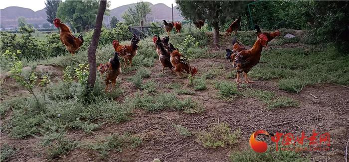 """【走向我们的小康生活】兰州新区:""""鸡司令""""赵永富的小康路"""