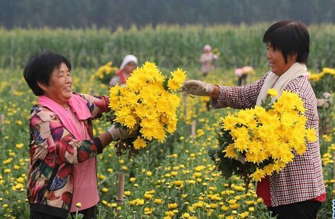 河北临西:鲜切菊花俏市场