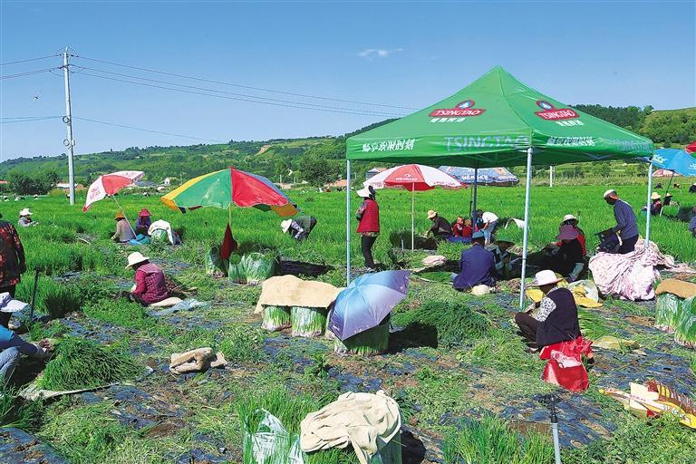 临夏县尹集镇大滩涧村河州田园农民种植专业合作社的社员采挖香葱