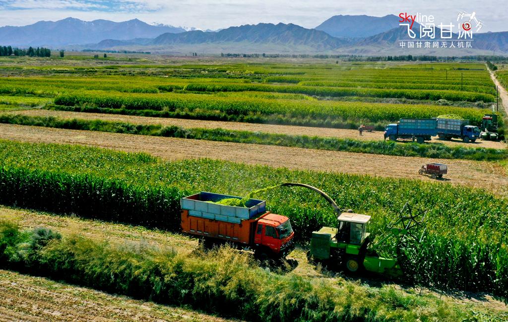 """【""""飞阅""""甘肃】张掖:20万亩青贮玉米开机收割(组图)"""