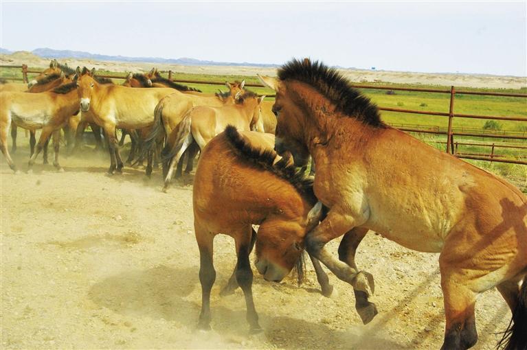敦煌普氏野马种群数量超过70匹