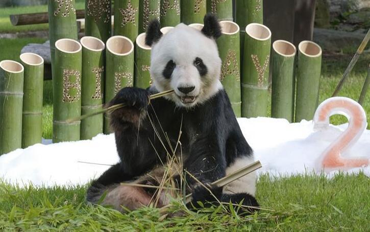 """旅日大熊猫""""永明""""迎来28岁生日"""