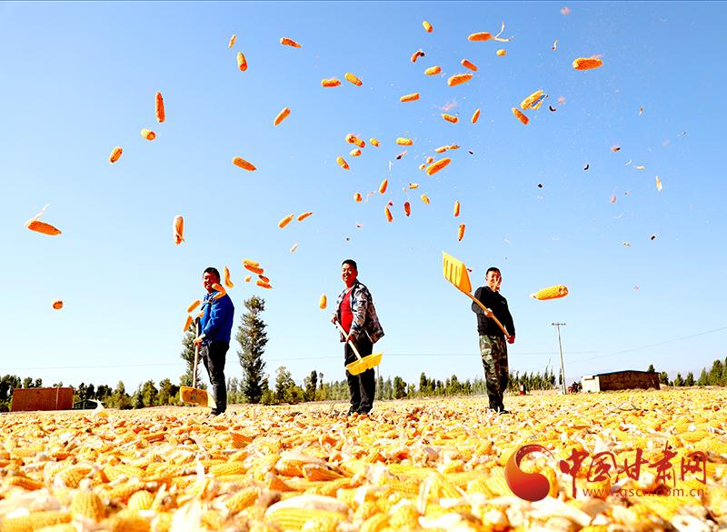 张掖:制种玉米收获忙 祁连脚下庆丰收