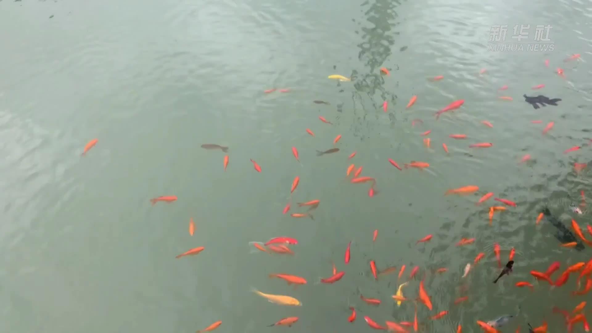 【视频】工业废水养锦鲤