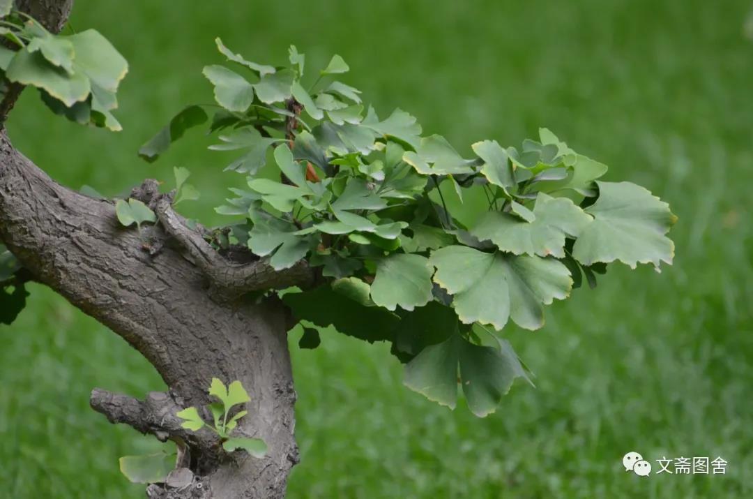兰州金城盆景园:秋到园中枝头俏