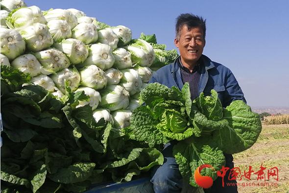 靖远:秋菜收 菜农乐