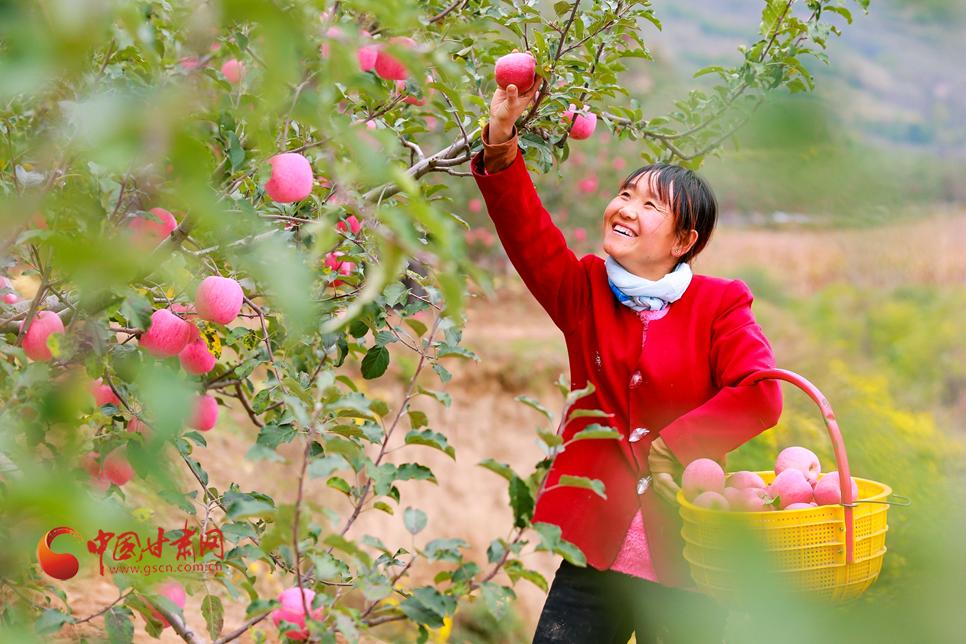 """甘肃静宁:苹果满枝好""""丰""""景"""