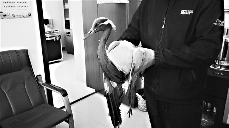 张掖:隆畅河保护站救助受伤蓑羽鹤