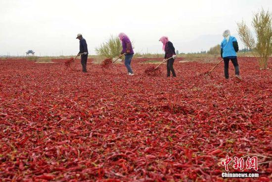 """甘肃高台万亩辣椒丰收 戈壁晒场如""""红色海洋"""""""