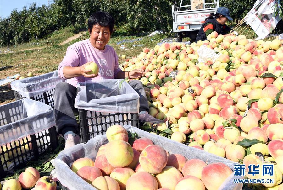 (经济)(3)天津蓟州:硕果飘香