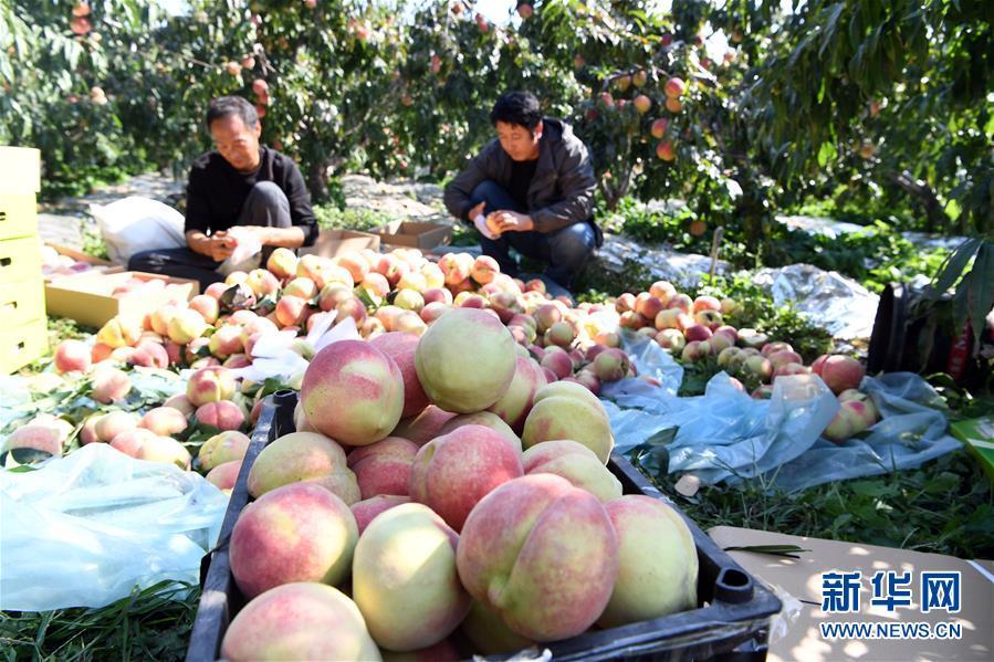 (经济)(4)天津蓟州:硕果飘香