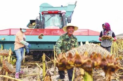 兰州新区秦川园区万亩向日葵喜获丰收