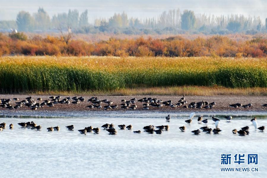 【大美甘肃】秋到黑河湿地 候鸟翔集碧波漾