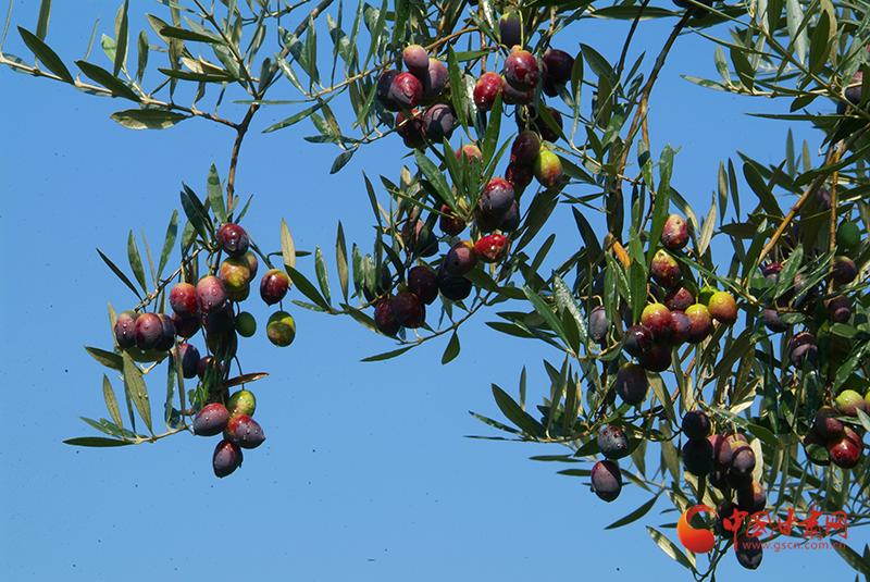 武都:橄榄飘香 促农增收致富