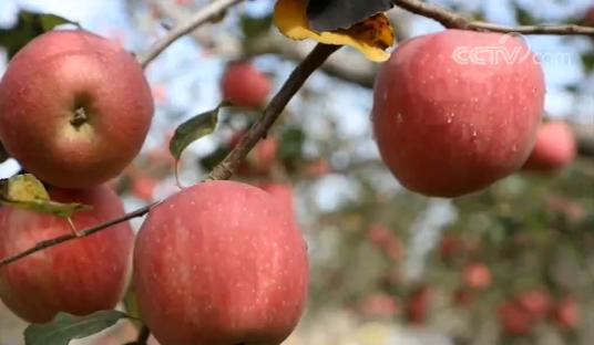 甘肃庆阳177万亩苹果迎来丰收 今年产值将达45亿元
