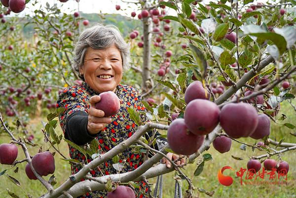 西和长道镇:苹果喜获采摘 农户丰收在望