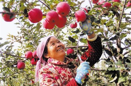 会宁县10万亩苹果喜获丰收