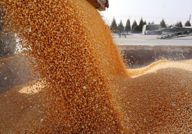 文县10万亩全膜玉米丰收