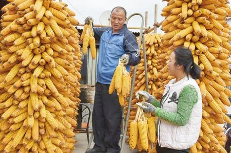 陇南西和县西峪镇上坪村:农家晒秋忙