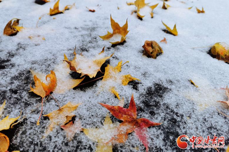 甘肃静宁迎来今秋首场雨夹雪 雪映红叶愈妖娆