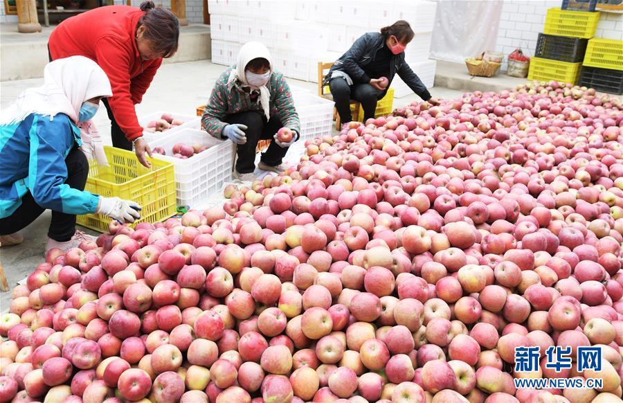 甘肃临夏:苹果飘香助脱贫