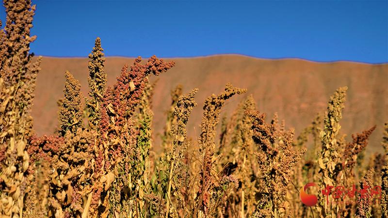 肃南:丰收藜麦映红金畅河