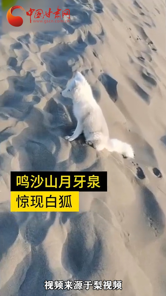 敦煌月牙泉景区首次出现白狐