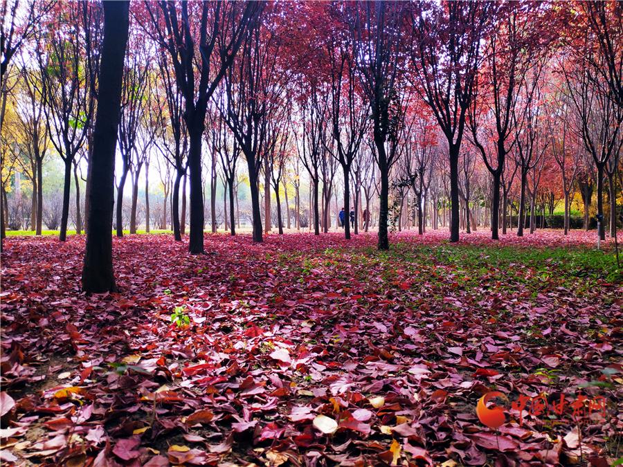 """【""""醉""""美深秋 】深秋,请到兰州这片红叶林里走走"""