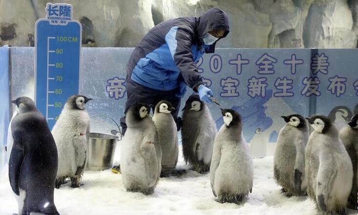珠海长隆今年成功繁育10只帝企鹅宝宝