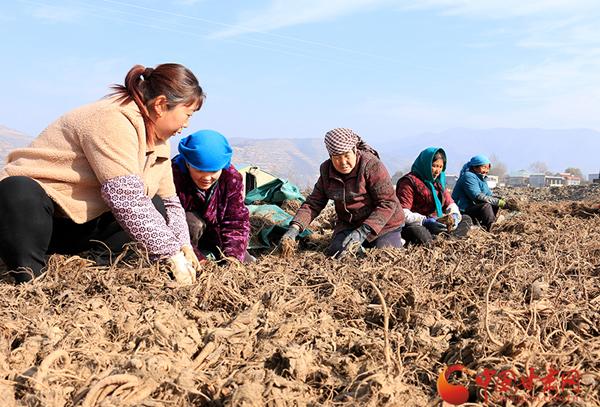 岷县:农民群众晒药忙