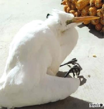"""哎呀,这只""""大白鸟""""受伤了!榆中清水村村民交给动物救助保护站救治"""