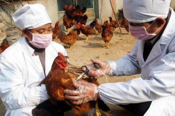 兰州477.55万头(只)次畜禽免疫工作完成