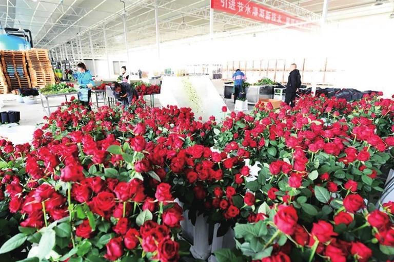 兰州新区鲜切玫瑰正式量产上市