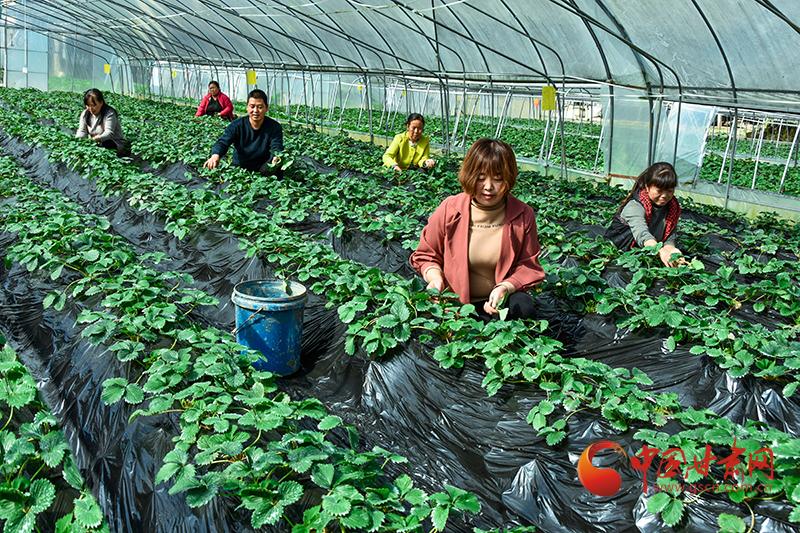 康县:小草莓托起农民增收致富梦