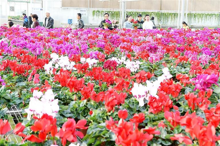 临夏县百益现代农业科技有限公司示范园花卉竞相绽放