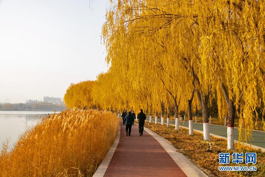 """甘肃张掖:润泉湖畔垂""""金柳"""""""