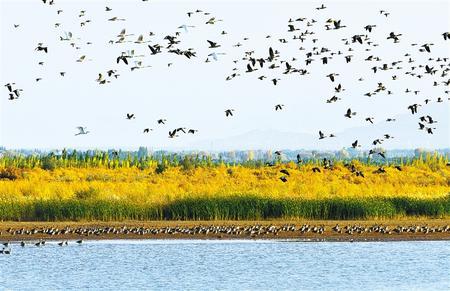 数万只候鸟成群结队在张掖黑河湿地高台段的小海子湿地上空自由翱翔
