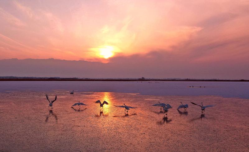 """【飞阅甘肃】临泽:白天鹅""""做客""""黑河湿地"""
