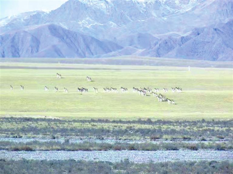 祁连山国家公园祁丰保护站境内发现大种群西藏野驴