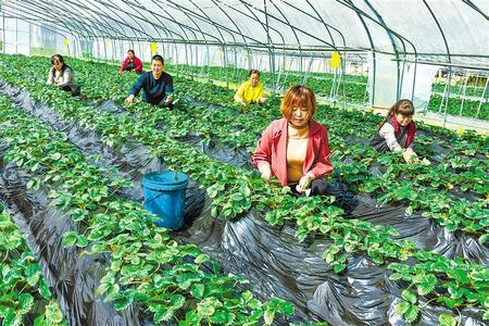康县景盛生态农业观光采摘园村民们正在对草莓进行摘叶管理