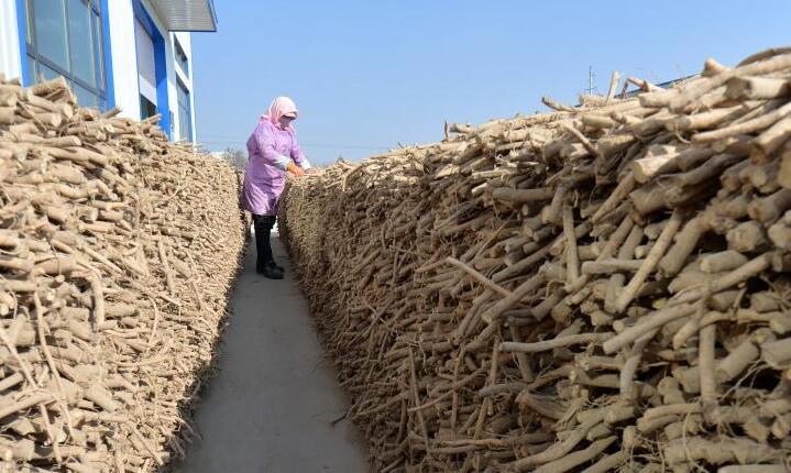 甘肃永靖:黄芪产业助增收