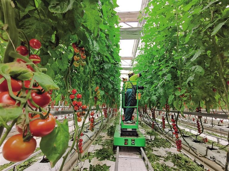 精准化管理 标准化品质 兰州新区番茄获全球良好农业规范认证
