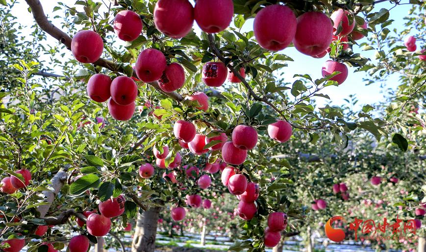 """庄浪:苹果""""映红""""农民致富路"""