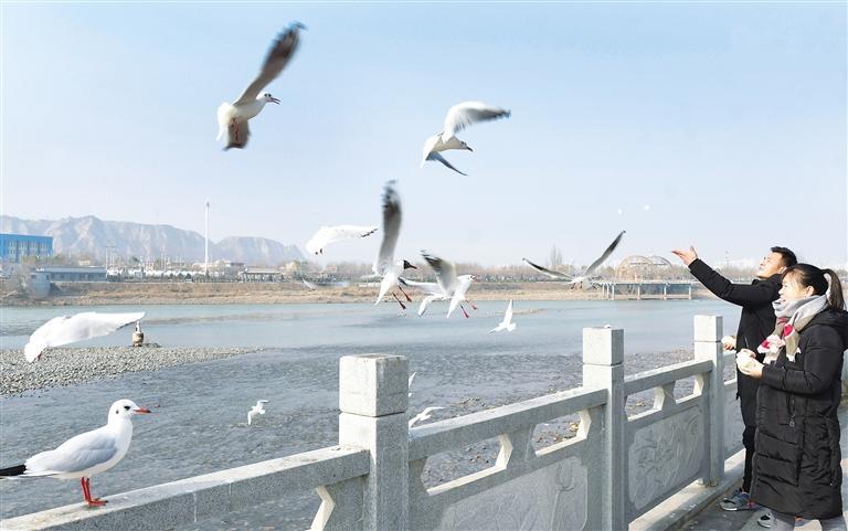 临夏州永靖县刘家峡镇黄河岸边居民给红嘴鸥喂食