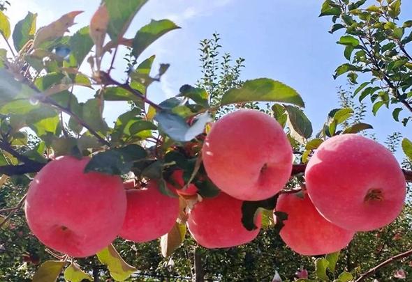 """【中国的脱贫智慧】会宁:苹果""""映红""""农民致富路"""