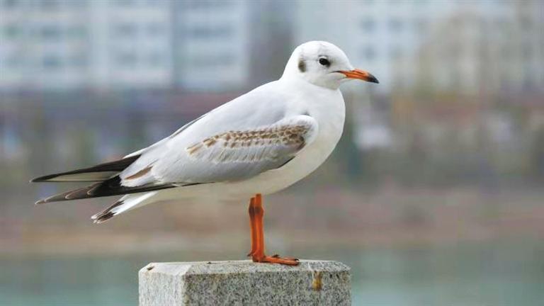 这个冬天 去永靖看红嘴鸥蹁跹