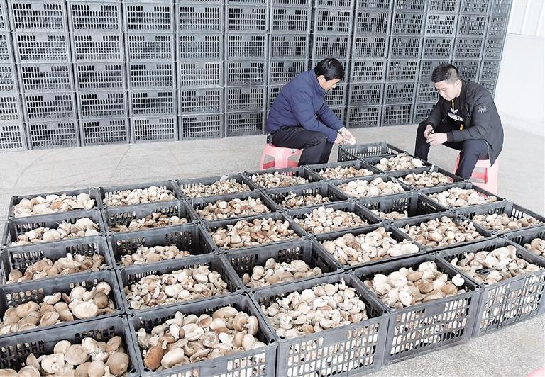 """食用菌产业""""菇""""舞人心——临夏州东乡县那勒寺镇易地扶贫搬迁后续产业园食用菌种植基地见闻"""
