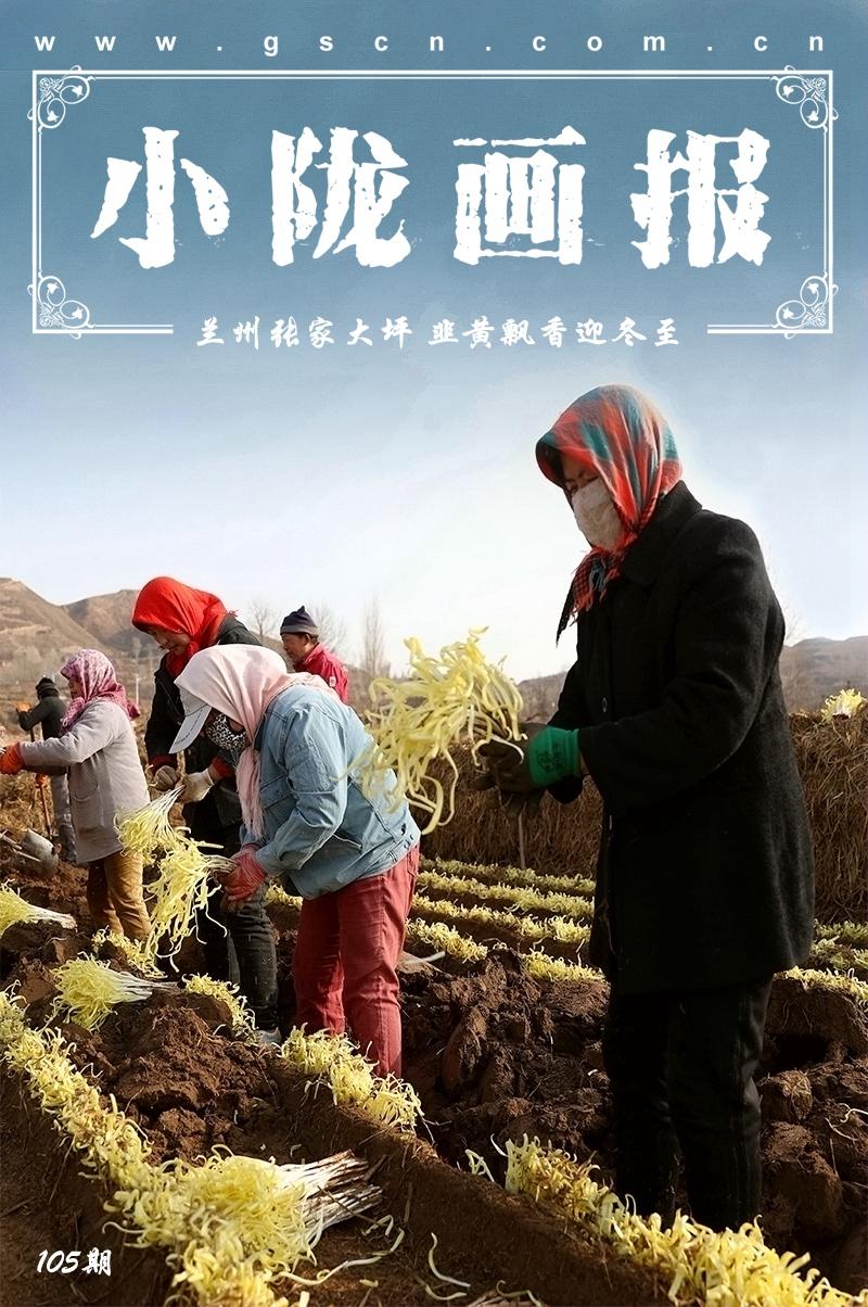 【小陇画报·105期】兰州西固:韭黄开镰遍地金