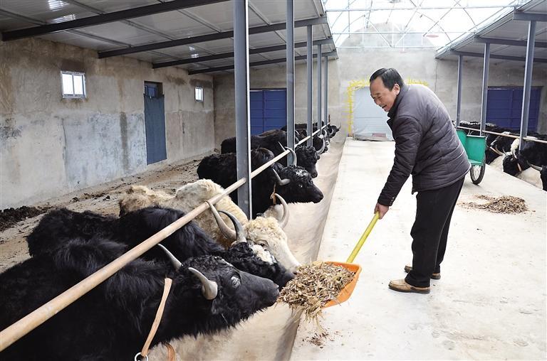 临夏州:养牛大户新年里的新打算
