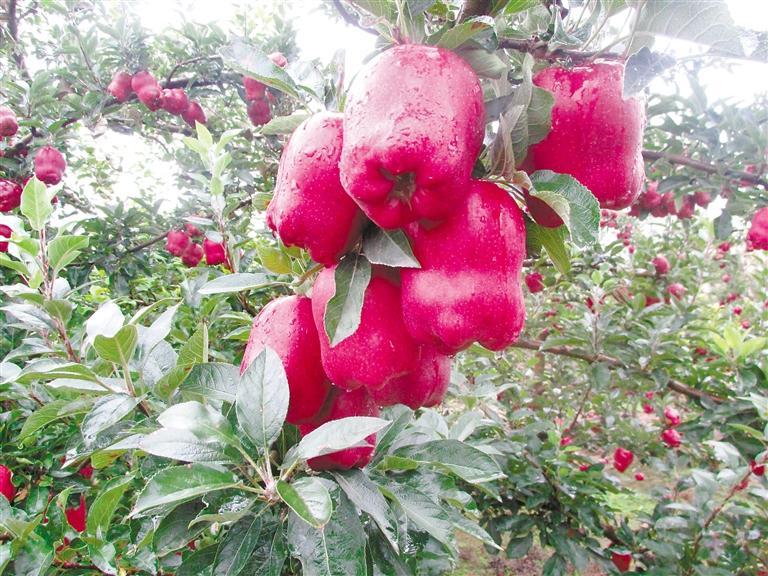 """我和我的家乡丨天水麦积区白家河村:红果果变身""""金果果"""""""